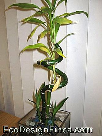 Bamboo-of-luck-large-1