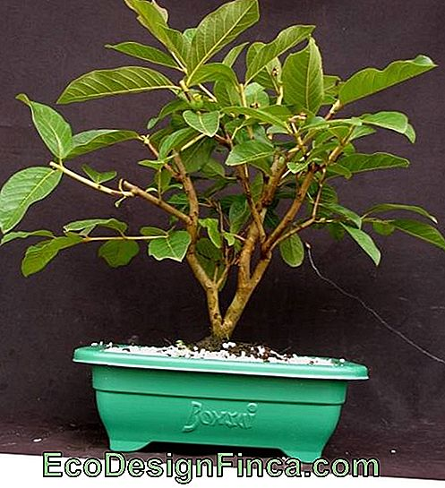 guave bonsai