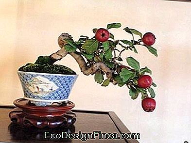 bonsai appel