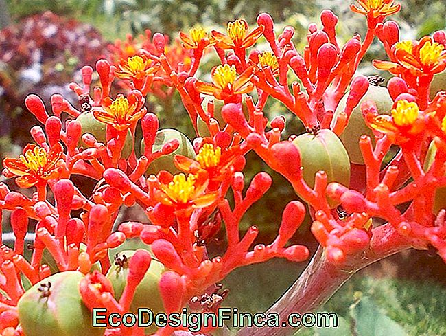 Jatropha podagrica: care