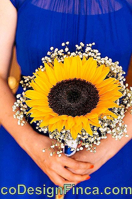 Flowers for wedding: a single sunflower flower is enough to assemble this bouquet; the gispsofilas complete the arrangement