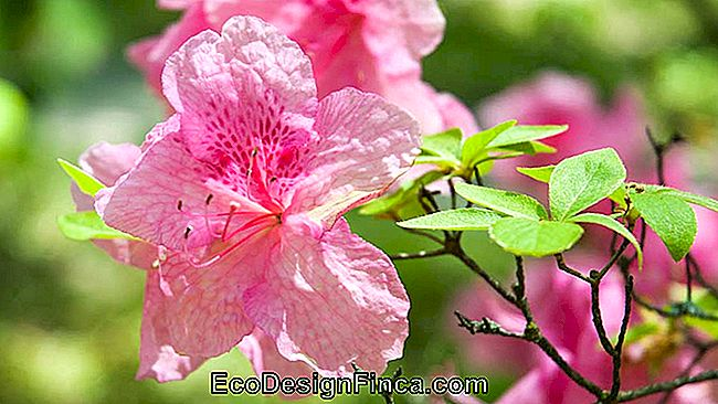 How To Care For Azalea: Tips For Planting Indoors And Outdoors