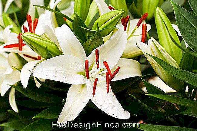 How To Care For Lilies: Discover Tips For Growing Lilies In The Garden