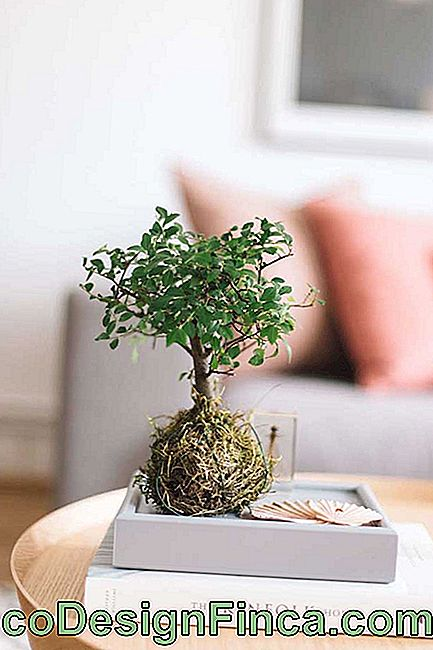 Twee Japanse technieken in één arrangement: kokedama en bonsai
