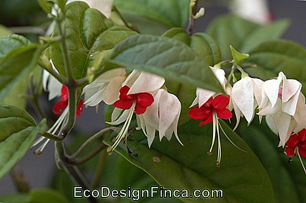 Clerodendron Duftstoffer