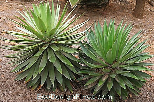 Agave (Agave Angustifolia)
