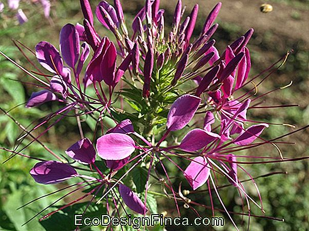 Cleome Of Spider-Flower (Cleome L.)