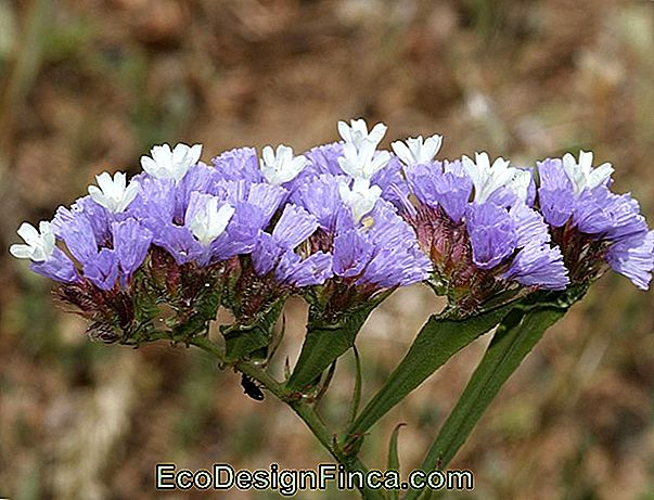 Ever-Living Statice (Limonium Sinuatum)