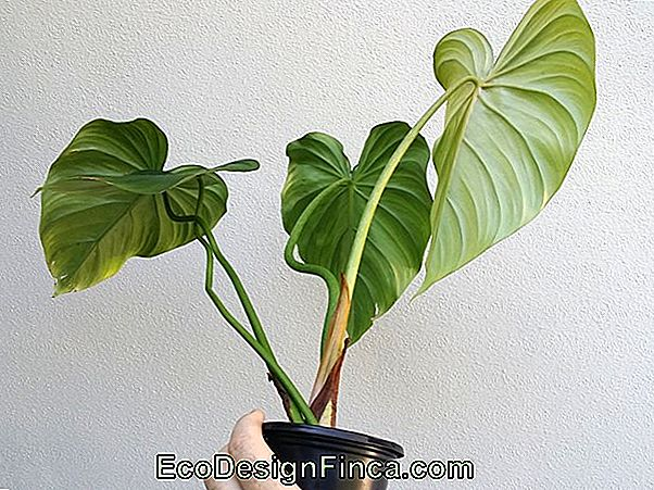 Philodendron Impérial (Philodendron Speciosum)