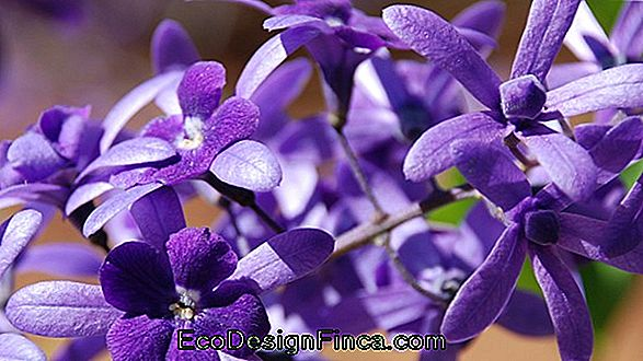 Flower Of Saint Michael (Petrea Subserrata)