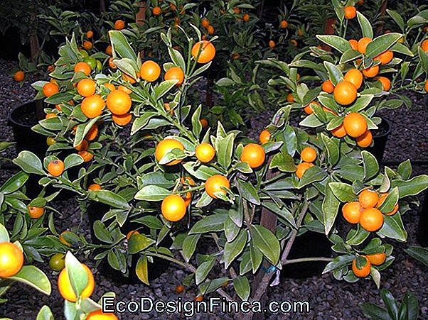 Kumquat (Fortunella Margarita)