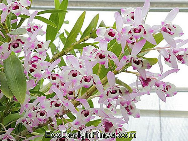 Orchid Baby Doll (Dendrobium Nobile)