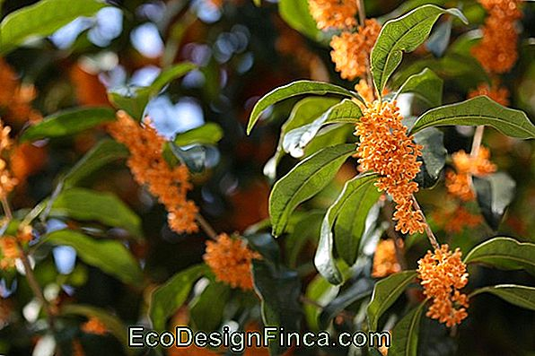 Osmanthus Fragrans