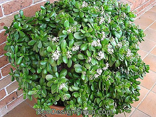 Crassula Ovata: The Jade Plant