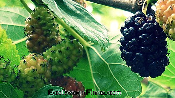 Know The Benefits Of Mulberry Tea