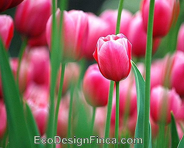 How To Care For Tulips: Discover Essential Growing Tips
