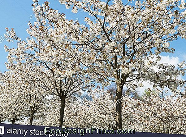 White Cherry (Prunus Serrulata)