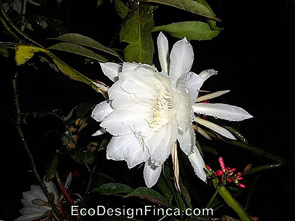 Lady Of The Night (Epiphyllum Oxipetalum)