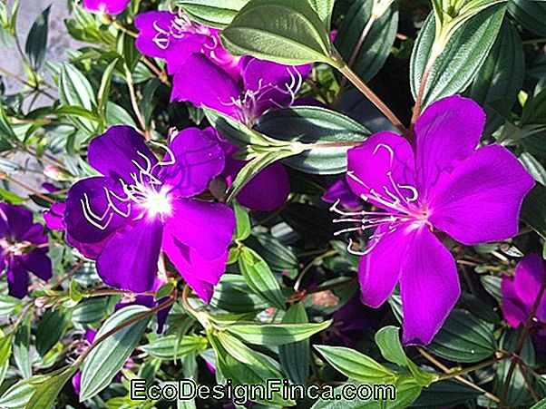Ear Of Ounce (Tibouchina Grandifolia)