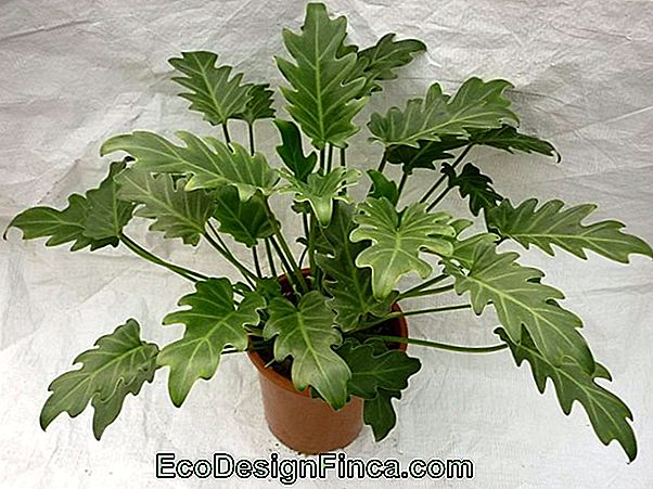 How To Plant Xanadu (Philodendron Xandadu)