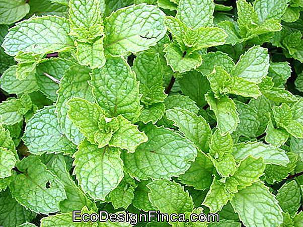 How To Plant Mint Or Mint (Mentha Spicata)