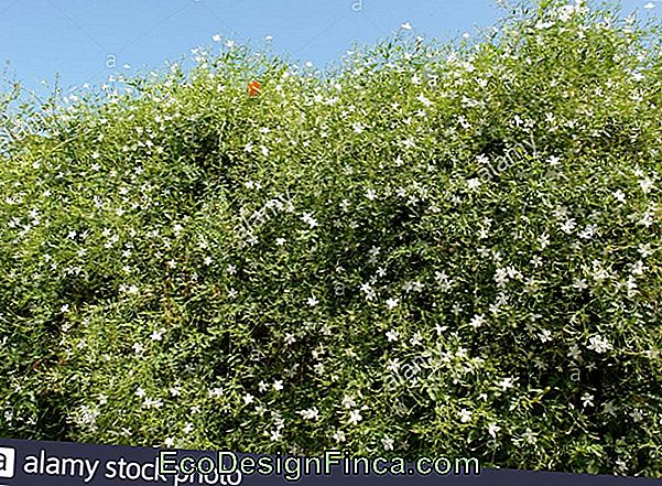 Jasmine Of The Poets (Jasminum Polianthum)