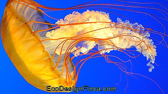 Jellyfish And Jellyfish: In Summer, Be Careful