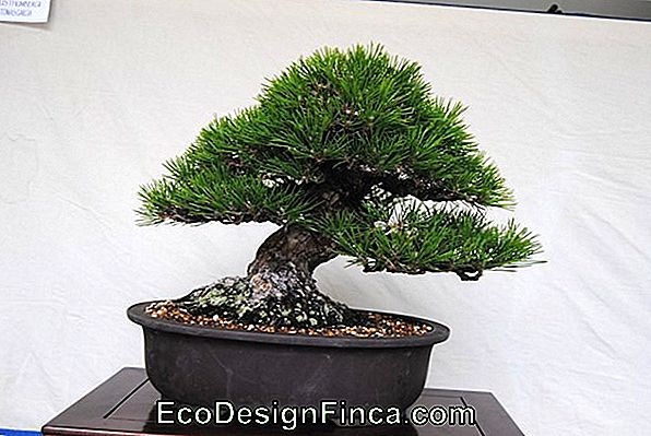 Bonsai: 5 Errores Peligrosos