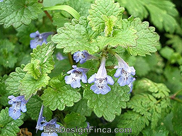 Glecoma Ou Lierre Vert (Glechoma Hederacea Variegata ')