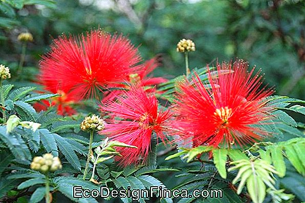 Caliandra Ou Sponjinha (Calliandra Brevipes)