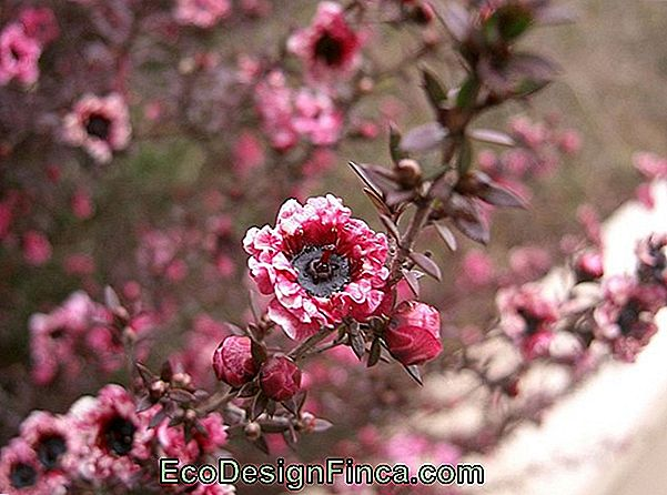 Erica-Japanese (Leptospermum Scoparium)