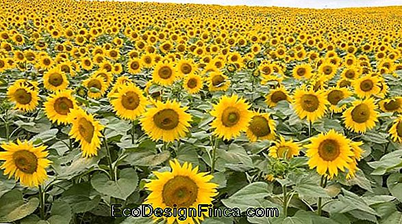 Culture De Tournesol