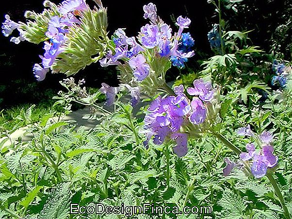 Herbe De Chat (Nepeta Cataria)