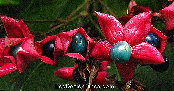 Clerodendro Blu (Condodendro Ugandese)