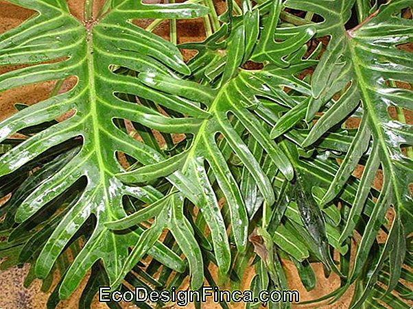 Philodendron Imperiale (Philodendron Speciosum)