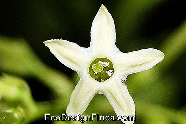 Night Jasmine (Cestrum Nocturnum)
