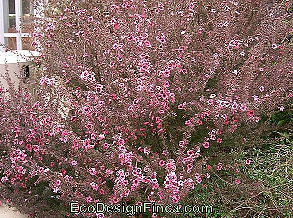 """Erica-Japanese"" (""Leptospermum Scoparium"")"