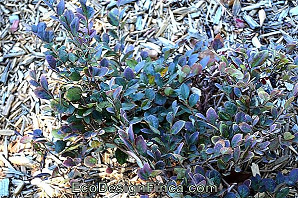 """Ever-Living Statice"" (""Limonium Sinuatum"")"