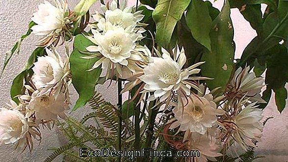 """Night Of The Night"" (Epiphyllum Oxipetalum)"