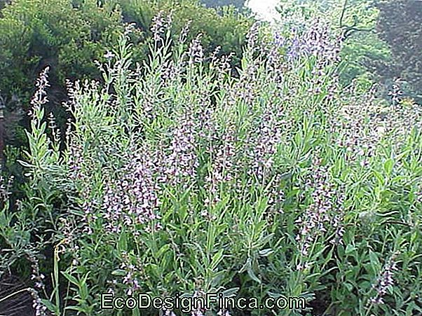 Salvija (Salvia Officinalis)