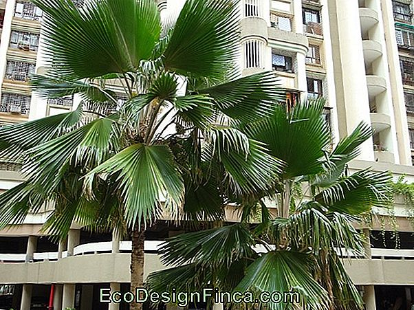 Fan-Palm Kweken