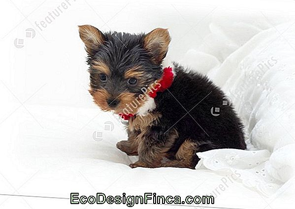 Yorkshire Terrier: All About The