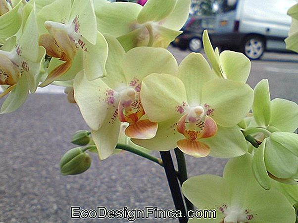 Phalenopsis Orchid (Phalenopsis)