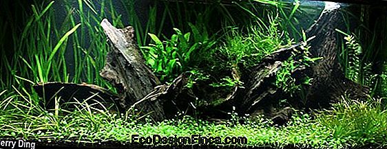 Bamboo Moss (Phylostachys Pubescens)