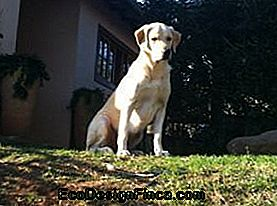Il Labrador Retriever