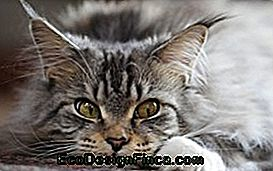 Maine Coon: The Giant Cat
