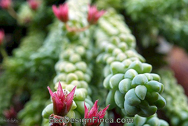 Burrowing Tail (Sedum Morganianum)