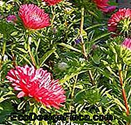 Aster de Chine rouge
