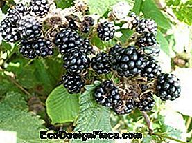 BlackBerry Bush (Rubus sp.)
