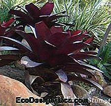 bromelia neoregelia i haven